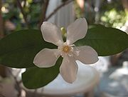 Apocynaceae: Facts, Discussion Forum, and Encyclopedia Article