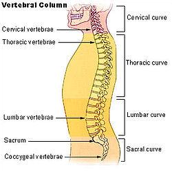 external image illu_vertebral_column.jpg