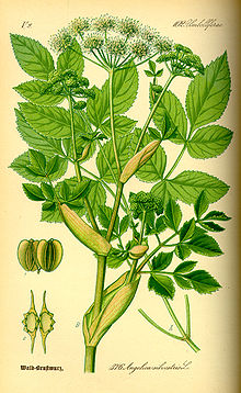 Angelica is a genus of about 60 species of tall biennial and perennial