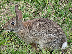 http://image.absoluteastronomy.com/images/encyclopediaimages/w/wi/wild_rabbit_us.jpg